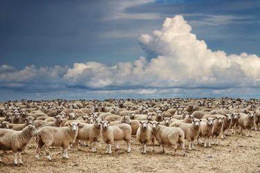 Kudde schapen, stop met zoeken naar het schaap met vijf poten